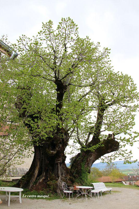 En terme de dimensions, ce tilleul pourrait prendre tous les superlatifs : le plus gros tilleul du département,mais aussile plus gros arbre (toutes espèces confondues) de la région Auvergne-Rhône…