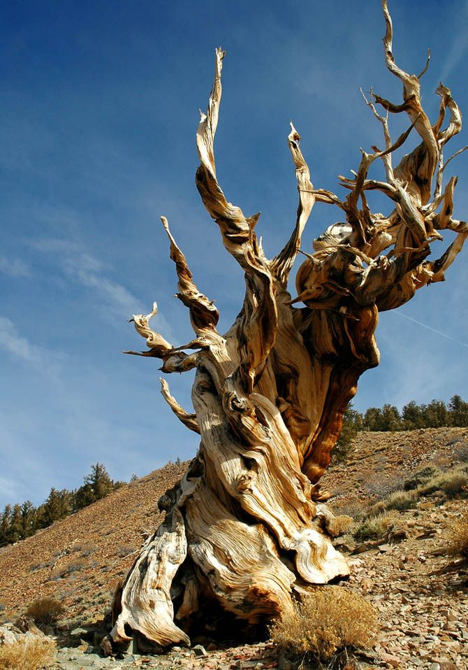Methuselah- The world's oldest individual tree lives 10,000 feet above sea level in the Inyo National Forest, California. A staggering 4,765 years old, this primeval tree was already a century old when the first pyramid was built in Egypt. The tree is hidden among other millennia-old Great Basin bristlecone pines in a grove called the Forest of Ancients. To protect the tree from vandalism, the forest service keeps its exact location secret
