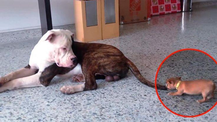 Un cucciolo di Chihuahua impavido non ha problemi a fare amicizia e a giocare con il più maturo Bulldog americano. L'adulto lo guarda perplesso ma lo lascia affettuosamente fare. ° twitter@fulviocerutti °