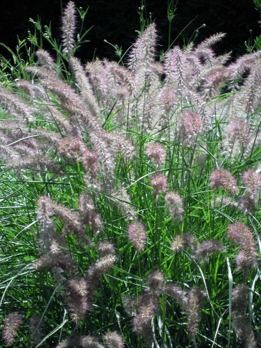 'Karley Rose' fountain grass (Pennisetum orientale 'Karley Rose,' zones [5] 6 to 8) gets bigger and beefier than your average fountain grass — about 3 feet tall and 4 feet wide. Blooms in fuzzy pink early in the season, with flowers that fade to a more buff pink. & reblooms throughout the season, so it's an all-summer stunner. '