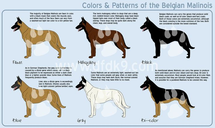 Belgian Malinois Colors by MauserGirl -- Indy's coloring is the bottom center one ... gray?