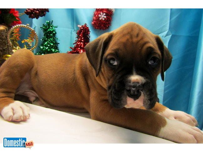 """Boxer Puppies. XTRA NICE!! Family raised. Vet Checked. *^*WAGS FINANCING*^*Credit Cards Welcome*^*BEST Guarantees*^*Visitors Always Welcome: Hug-A-Pup """"The Puppy ..."""