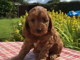 Quality Red Cockapoo Boys - Ready Now