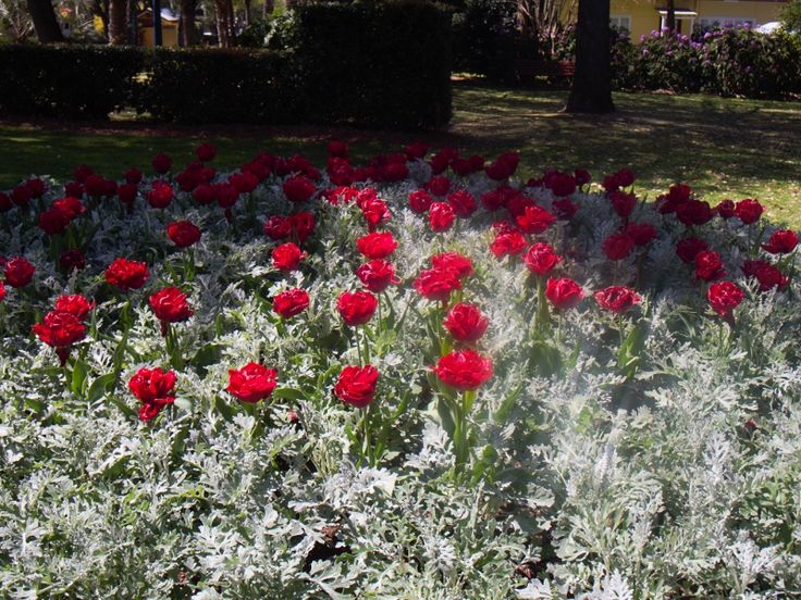 Brilliant display of red tulips amid silver cineraria