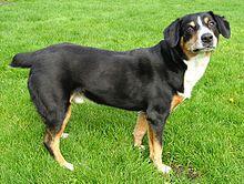 Entlebucher Sennenhund/Mountain Dog / Entelbuch Mountain Dog / Entelbucher Cattle Dog