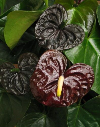 Black Queen Anthurium Plant - Easy to Grow Blooming House