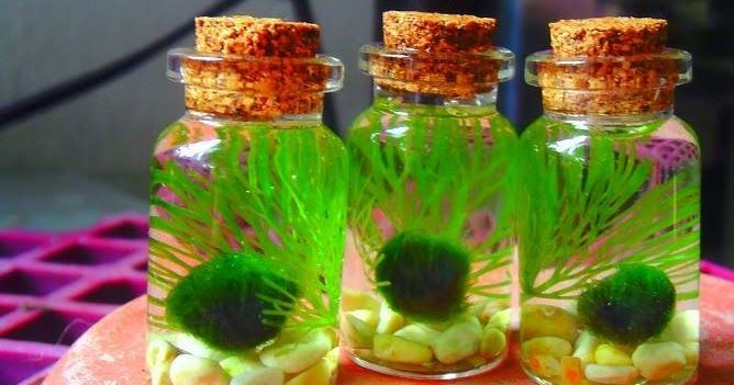 An online aquarium shop that mainly specialized on Marimo Moss Ball and aquarium snails.