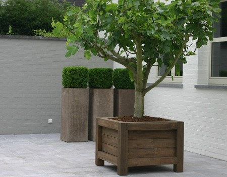 Fig Tree And Boxwood In Planter Boxes.