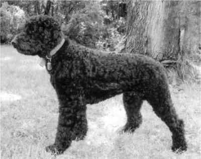 miniature poodle: Adult Rottl, Poodle Abrakadabra, Friends Poodle, Poodle Color Pink, Hybrid Dogs, Purebr Dogs, 250 Pictures, Miniatures Poodle, Poodle Hybrid