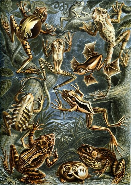 Google Image Result for http://www.copyrightfreephotos.hq101.com/d/3066-6/Ernst_Haeckel_-_Frogs_-_Batrachia.jpg