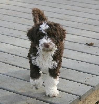 Portuguese Water Dog Puppy.  This is how I like them best, natural!  Don't like the typical cut given to the breed.