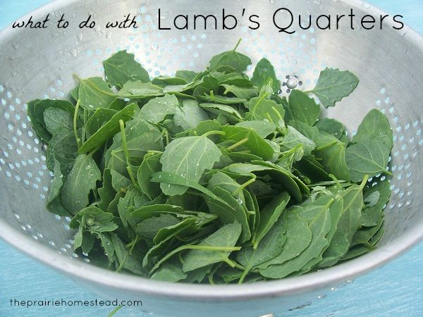 Lamb's quarters / http://www.theprairiehomestead.com/2012/07/when-life-gives-you-weeds-eat-em-or-what-to-do-with-lambs-quarters.html