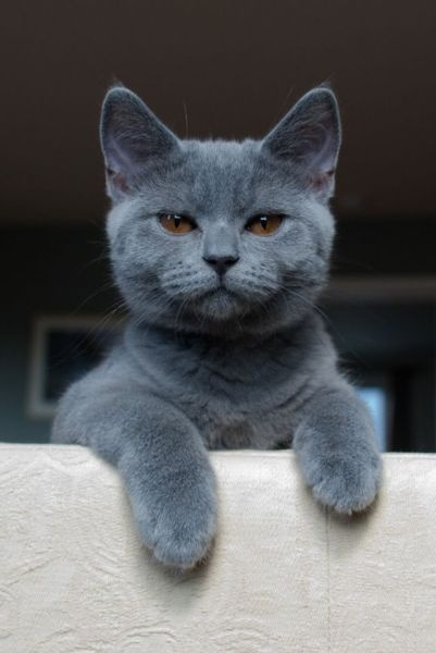a grey cat looking at you: Egyptian Cat, Russian Blue, Grey Cat, Kitty Cat, Pet, Ancient Egypt, So True, Eye, Animal