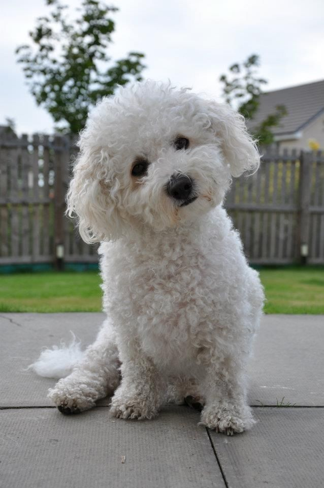 25+ best ideas about Bichon frise on Pinterest | Bichons ...