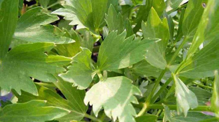 Parfumul unic al ciorbelor româneşti, proaspăt adus din grădină sau de la piaţă, ori uscat, leuşteanul are certe proprietăţi terapeutice. Medicii din Grecia Antică au fost primii care au lăsat însemnări despre efectele benefice ale frunzelor verzi ale leuşteanului asupra digestiei şi sistemului nervos. În secolul al VII-lea,cunoscutul botanist englez Nicholas Culpepper, scria despre leuştean …