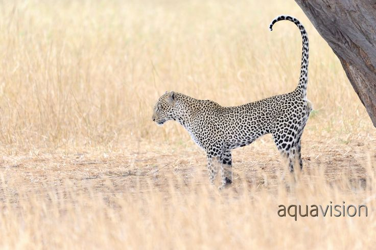 https://flic.kr/p/SycZRT | AWG_20081005_0004.jpg | Leopard (Panthera pardus) scent marking against a tree