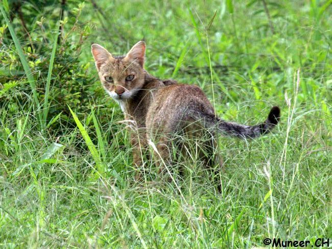 Jungle Cat (Felis chaus)