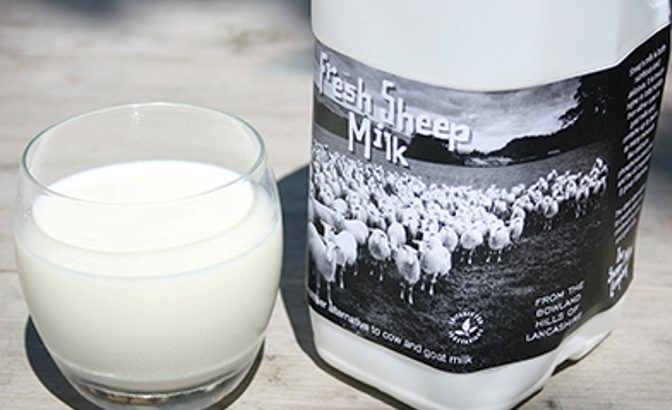 Sheep milk is a natural high protein energy drink because it contains 3 times more whey protein than goat's or cow's milk.