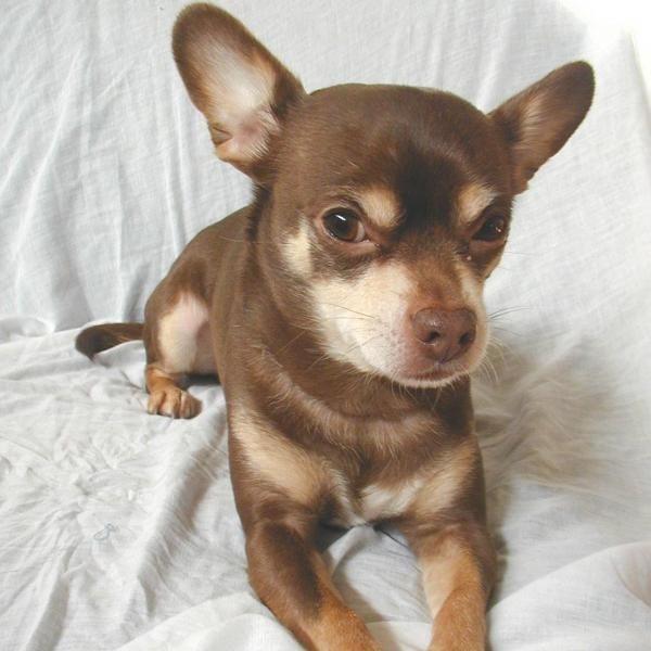 Cómo es un chihuahua. El Chihuahua fue descubierto y domesticado de su estado silvestre en el estado mejicano de Chihuahua, de ahí viene su nombre. El chihuahua es el perro de raza mas pequeño del mundo, aunque muchos cree...