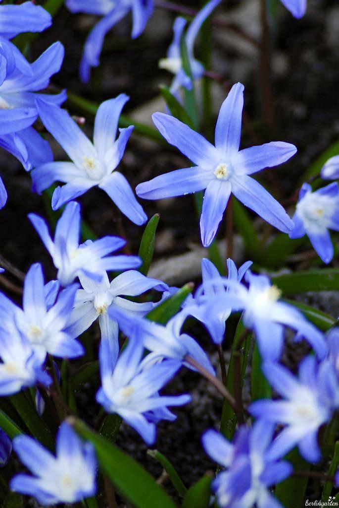Blaue Und Rosa Sterne Im Garten Von Scilla Und Ihren Schwestern Fruhlingsgarten Gelbe Narzisse Garten