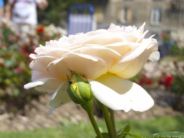 La Grande roseraie du Parc de la Tête-d'Or, Claire Margaron.
