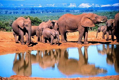 Addo Elephant Park. We zijn geweest en inderdaad kuddes olifanten met kleintjes gezien!