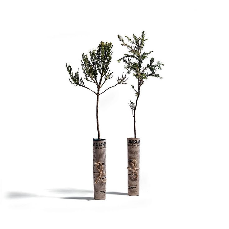 The California Sequoia and Redwood Saplings - Hammacher Schlemmer - With an average life span of 2,000 years, these tress will provide shade to your yard for centuries to come!