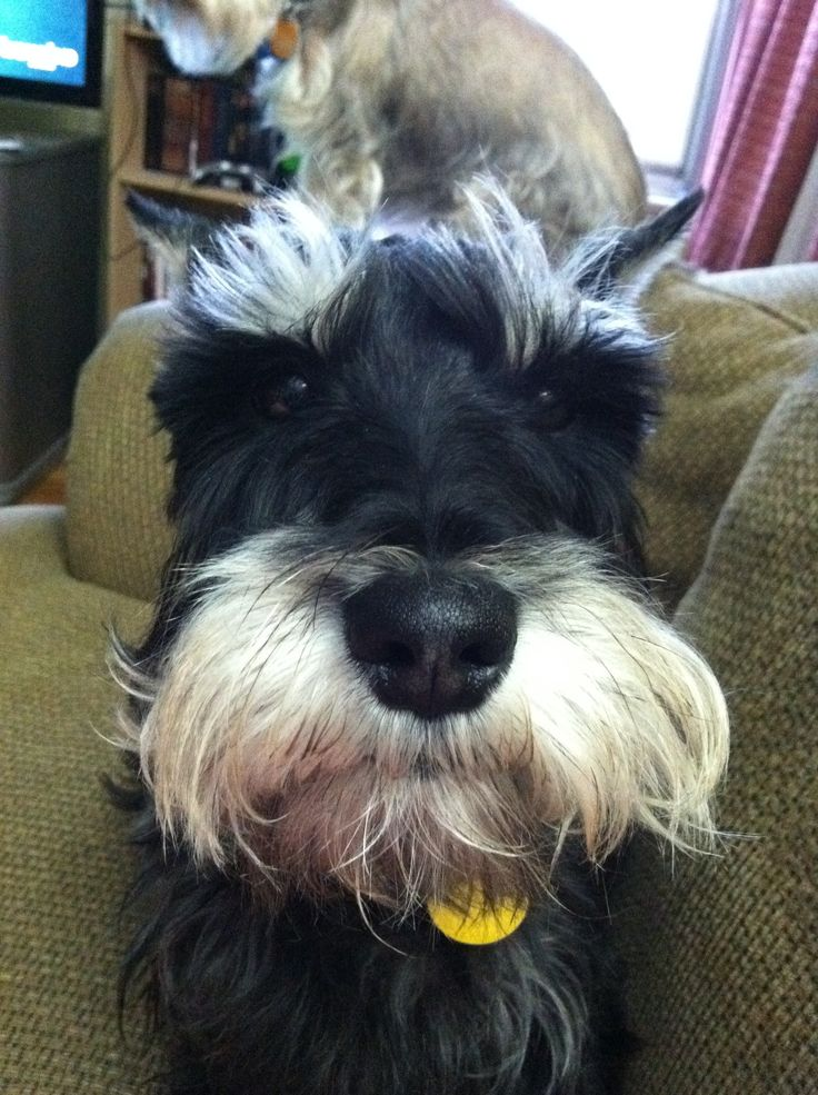 1000+ Ideas About Schnauzer Dogs On Pinterest