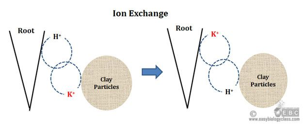 Exchange of Mineral Ions in Roots