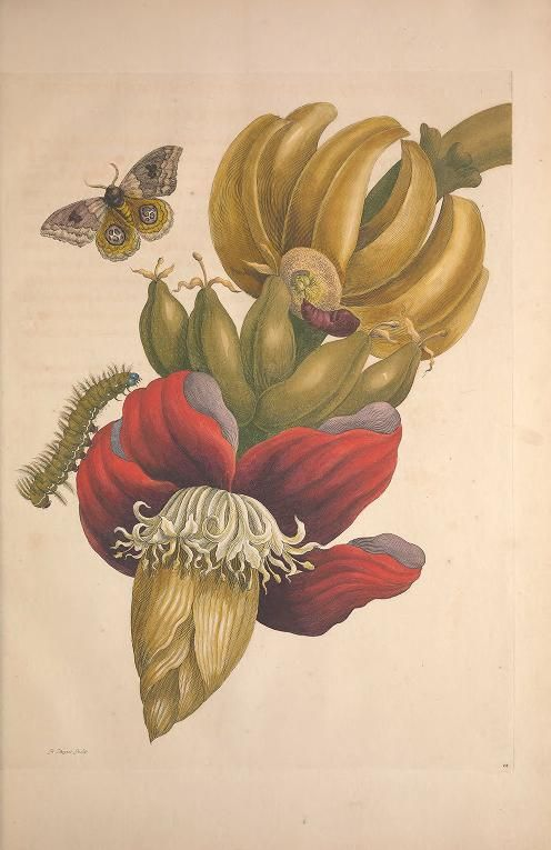 Biodiversity Heritage Library: Metamorphosis Insectorum Surinamensium (1705). Maria Sibylla Merian studied insect life, and butterfly metamorphosis, extensively. Her work helped overturn the prevailing theory that insects were generated from rotting mud, thus positioning her as one of the most important contributors to the field of entomology. This is especially impressive given that she was a woman in a field dominated by men. #ArchivesMonth