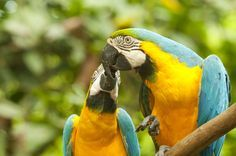 Blue and Yellow Macaw are monogamous, meaning they mate for life. Here are a pair of love birds in our foundation!