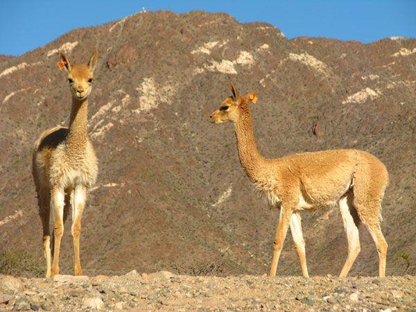 Ganadería Autóctona de Vicuñas y Llamas. Criadero Coquena Molinos, Salta. Argentina