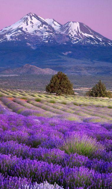 Lavender Fields.. Shasta Valley, Siskiyou County, California, U.S