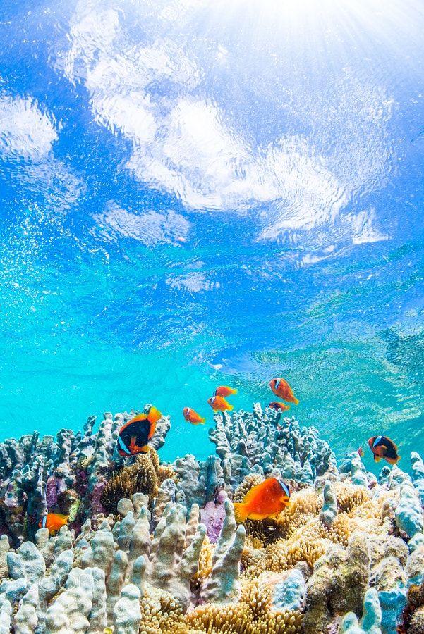 Surely, I can fly. by inusukekun Colony of Anemonefish in Miyakojima-island,Okinawa,Japan.