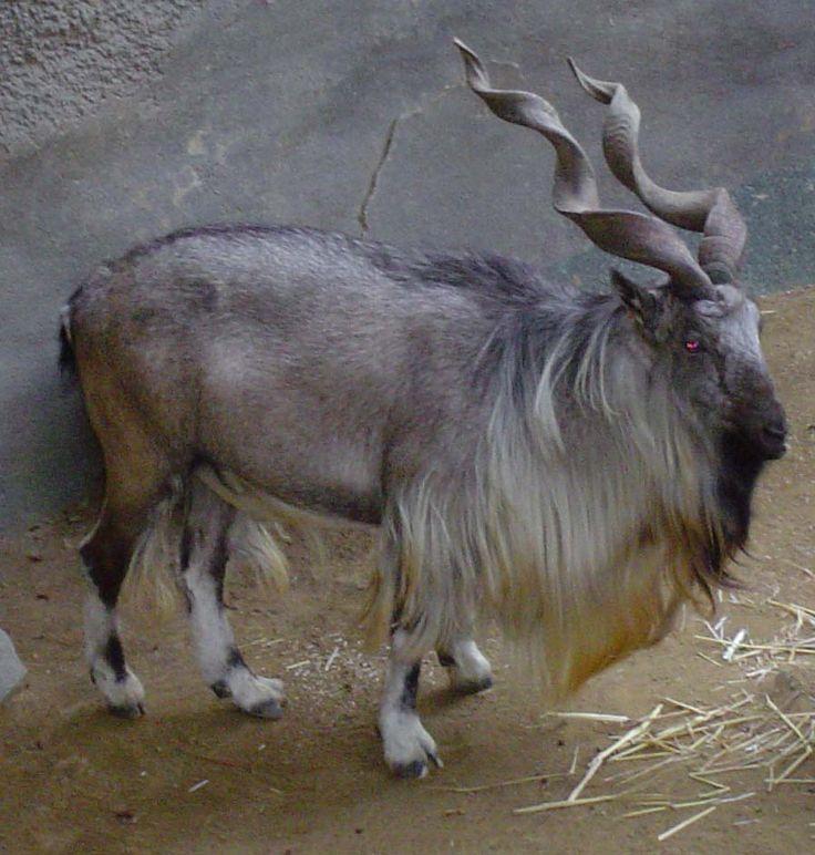 Markhor goats