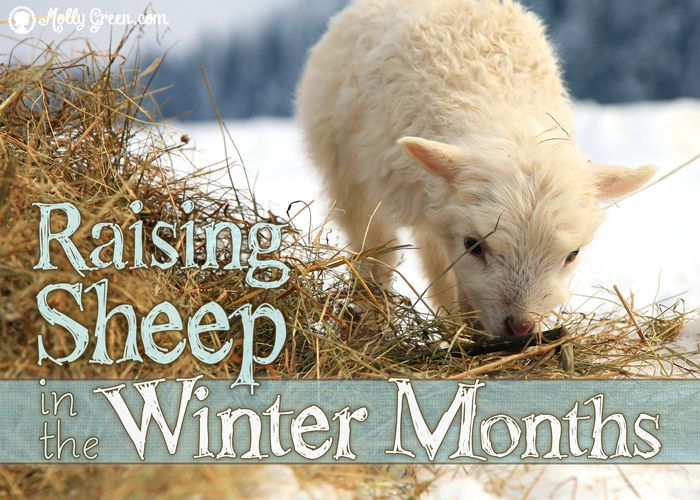 Winter with Our Sheep by Alyce Repko. When it comes to raising sheep, or really any animal on the homestead, each season has its challenges. Winter is no exception. http://mollygreen.com/blog/winter-with-our-sheep/