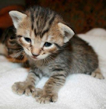 Polydactyl-Katzen sind erstaunliche Tiere und mit ihren riesigen Pfoten noch viel bezaubernder …   – Animals