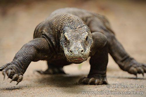 Komodo Dragon in Borneo, maybe its weird but I think its cute.