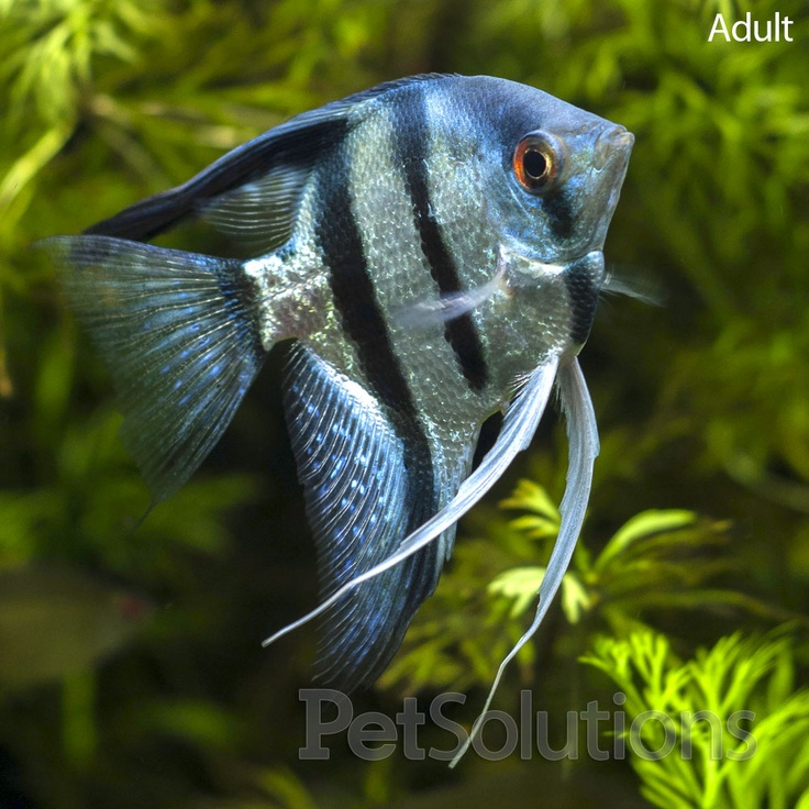 17 best images about aquarium on pinterest cichlids