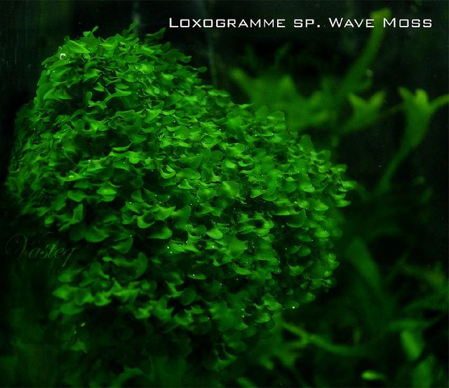 Loxogramme Sp. Wave Moss | Flickr   Photo Sharing!
