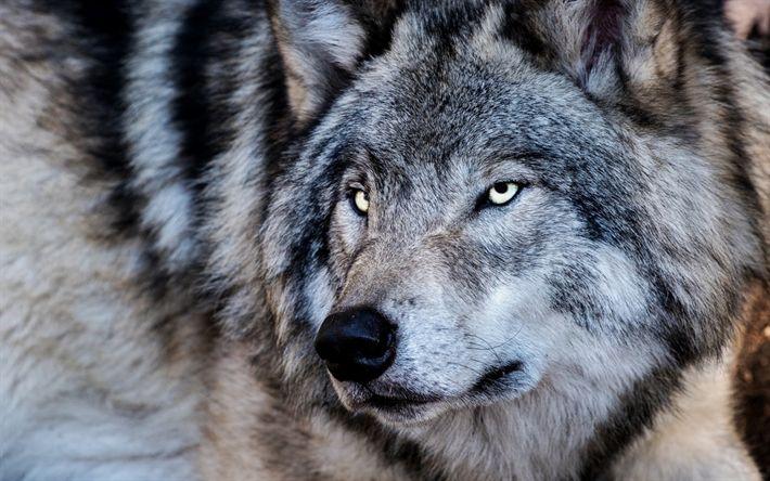 Download wallpapers wolf, predator, winter, wildlife, dangerous animals, forest inhabitants