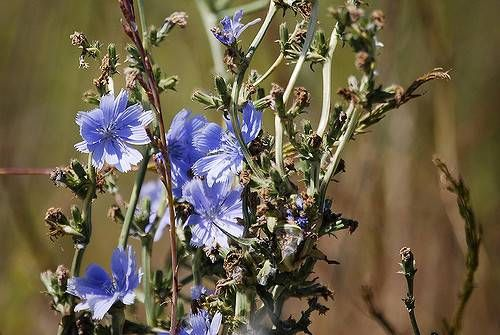 Side Effects of Chicory Root Extract  With blue flowers, chicory plant is renowned for many health benefits. Chicory root extract is prominent than its leaves and flowers. It has impressive benefits for digestive issues like constipation, intestinal infection, stomach upset and liver problem.  http://allergy-symptoms.org/side-effects-of-chicory/