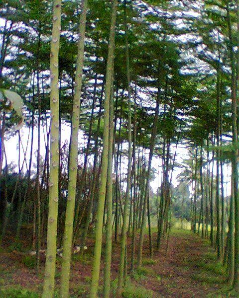 Pohon Solobium