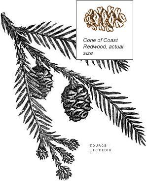 redwood-botanical-drawing.gif (300×366)