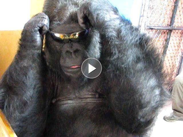 koko the gorilla - photo #19