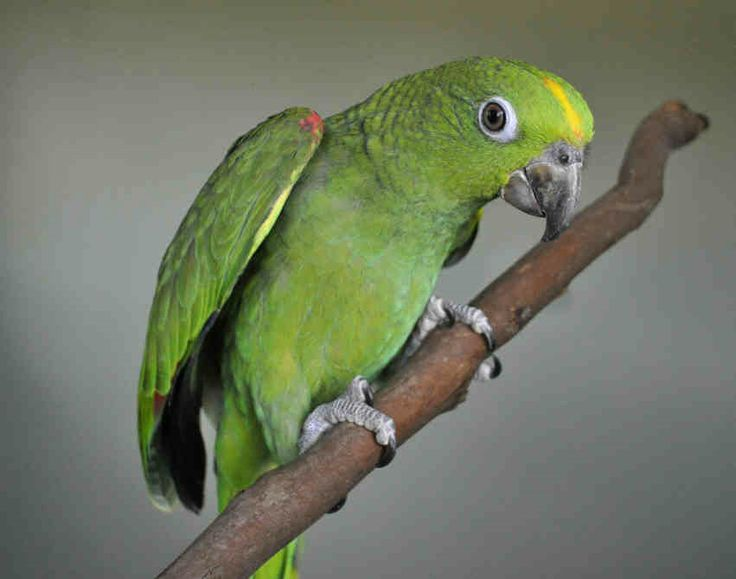 YELLOW CROWNED-Amazon and macaw parrots for sale in Australia Handreared 2014 Utopia Birds Blue Fronted double yellow yellow naped lilac crowned yellow crowned Double yellow headed