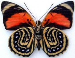 Top 10 Rare or Endangered Butterflies