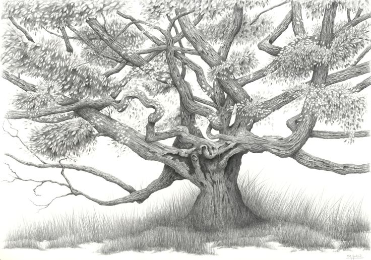 Portrait of a tree - pencil drawing