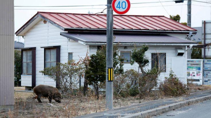Wilde zwijnen maken nu nog de dienst uit rond Fukushima   NOS