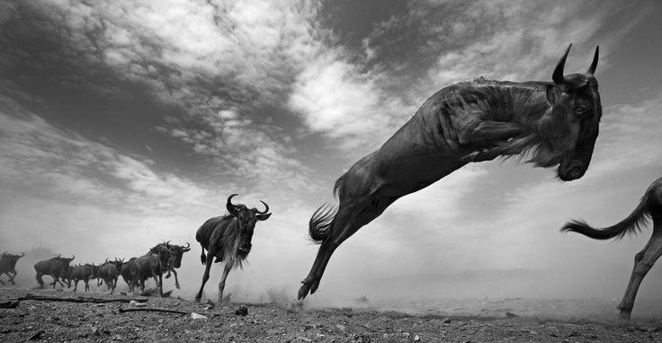 The Seekers |Anup Shah        «Contrairement à la marche tranquille des éléphants, les gnous ne cessent de courir et de sauter. C'est intégré à leur cerveau, leur psyché, ils ne s'arrêtent que quand ils arrivent à un endroit avec de l'eau et de l'herbe.»